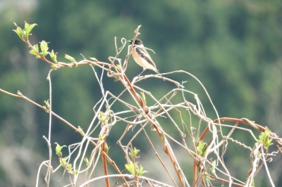 soku_35822.jpg :: 動物 鳥 野鳥 自然の鳥 ノビタキ