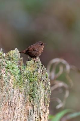 soku_35823.jpg :: 動物 鳥 野鳥 自然の鳥 ミソサザイ