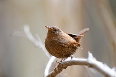 soku_35824.jpg :: 動物 鳥 野鳥 自然の鳥 ミソサザイ