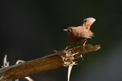 soku_35825.jpg :: 動物 鳥 野鳥 自然の鳥 ミソサザイ