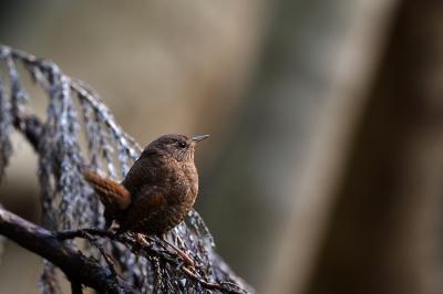 soku_35832.jpg :: 動物 鳥 野鳥 自然の鳥 ミソサザイ