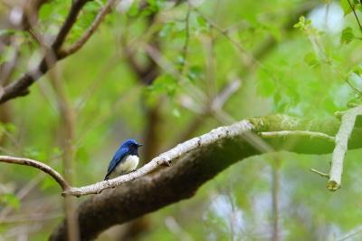 soku_35834.jpg :: 動物 鳥 野鳥 自然の鳥 オオルリ