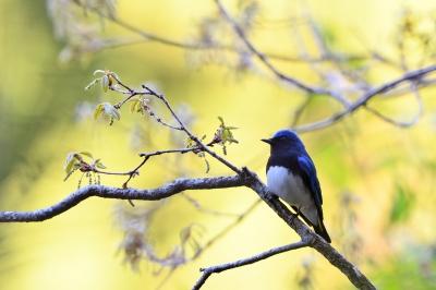 soku_35835.jpg :: 動物 鳥 野鳥 自然の鳥 オオルリ