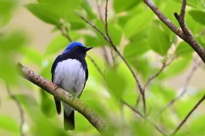 soku_35836.jpg :: 動物 鳥 野鳥 自然の鳥 オオルリ