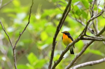 soku_35858.jpg :: 動物 鳥 野鳥 自然の鳥 キビタキ