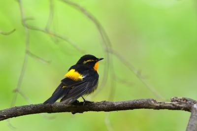 soku_35859.jpg :: 動物 鳥 野鳥 自然の鳥 キビタキ