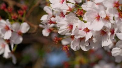 soku_35860.jpg :: 植物 花 桜 サクラ