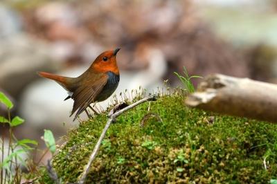 soku_35868.jpg :: 動物 鳥 野鳥 自然の鳥 コマドリ