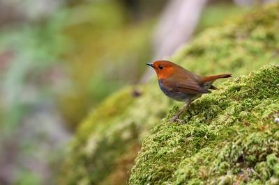 soku_35869.jpg :: 動物 鳥 野鳥 自然の鳥 コマドリ