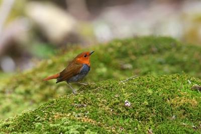 soku_35870.jpg :: 動物 鳥 野鳥 自然の鳥 コマドリ