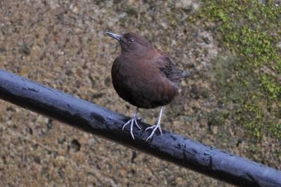 soku_35872.jpg :: カワガラス 動物 鳥 野鳥 自然の鳥