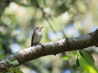 soku_35881.jpg :: 動物 鳥 野鳥 自然の鳥 コサメビタキ