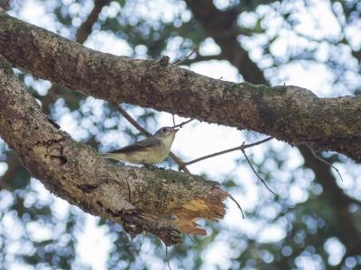soku_35884.jpg :: 動物 鳥 野鳥 自然の鳥 コサメビタキ