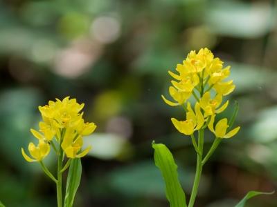 soku_35885.jpg :: 植物 花 蘭 ラン キンラン
