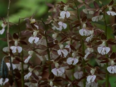 soku_35886.jpg :: 植物 花 蘭 ラン エビネ