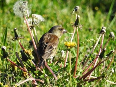soku_35901.jpg :: カワラヒワ タンポポ 動物 鳥 野鳥 自然の鳥