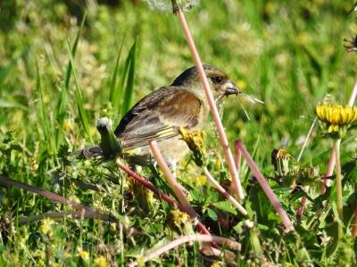 soku_35902.jpg :: カワラヒワ タンポポ 動物 鳥 野鳥 自然の鳥