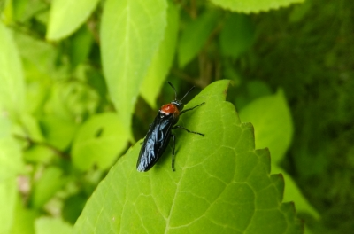 soku_35903.jpg :: 動物 昆虫 ハバチ科 ニレチュウレンジ