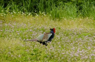 soku_35904.jpg :: 動物 野鳥 キジ科 キジ