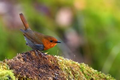soku_35908.jpg :: 動物 鳥 野鳥 自然の鳥 コマドリ