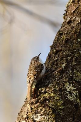 soku_35910.jpg :: 動物 鳥 野鳥 自然の鳥 キバシリ