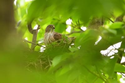 soku_35912.jpg :: 動物 鳥 野鳥 自然の鳥 ツミ