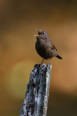 soku_35913.jpg :: 動物 鳥 野鳥 自然の鳥 ミソサザイ