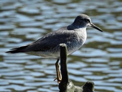 soku_35917.jpg :: 動物 鳥 野鳥 自然の鳥 キアシシギ