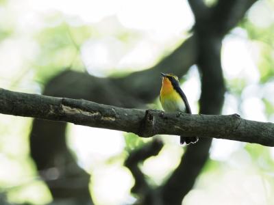 soku_35921.jpg :: 動物 鳥 野鳥 自然の鳥 キビタキ