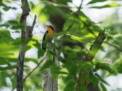soku_35922.jpg :: 動物 鳥 野鳥 自然の鳥 キビタキ