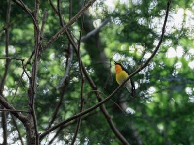 soku_35923.jpg :: 動物 鳥 野鳥 自然の鳥 キビタキ