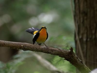soku_35926.jpg :: 動物 鳥 野鳥 自然の鳥 キビタキ