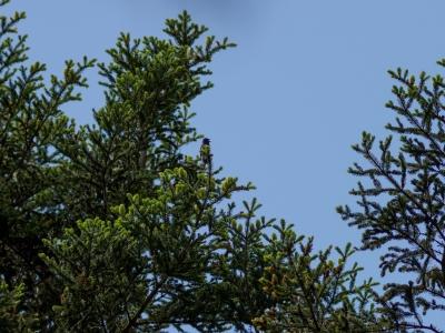 soku_35942.jpg :: 動物 鳥 野鳥 自然の鳥 オオルリ