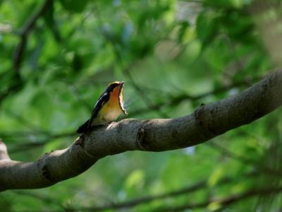 soku_35945.jpg :: 動物 鳥 野鳥 自然の鳥 キビタキ