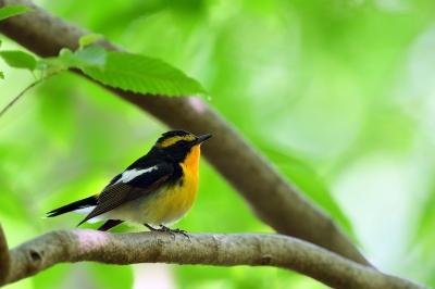 soku_35949.jpg :: 動物 鳥 野鳥 自然の鳥 キビタキ