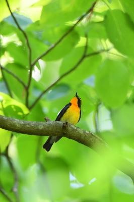 soku_35950.jpg :: 動物 鳥 野鳥 自然の鳥 キビタキ