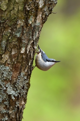 soku_35951.jpg :: 動物 鳥 野鳥 自然の鳥 ゴジュウカラ