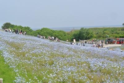 soku_35956.jpg :: 国営ひたち海浜公園 ネモフィラ 植物 花 紫の花