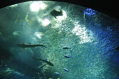 soku_35957.jpg :: 大洗水族館 動物 魚類 サメ エイ