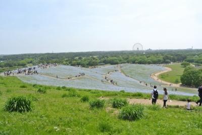 soku_35960.jpg :: 国立ひたちなか海浜公園 ネモフィラ 植物 花 紫の花