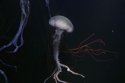 soku_35961.jpg :: 水族館 アクアワールド茨城県大洗水族館 動物 海の生物 クラゲ