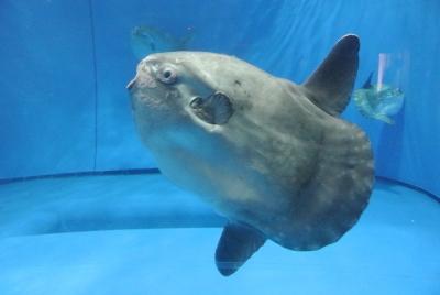soku_35962.jpg :: 水族館 アクアワールド茨城県大洗水族館 動物 海の生物 マンボウ