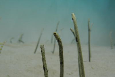 soku_35963.jpg :: 水族館 アクアワールド茨城県大洗水族館 動物 海の生物 チンアナゴ