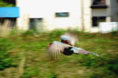 soku_35976.jpg :: 雉 動物 鳥 野鳥 自然の鳥 キジ