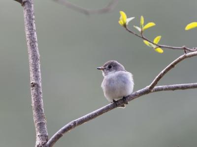 soku_35978.jpg :: 動物 鳥 野鳥 自然の鳥 コサメビタキ