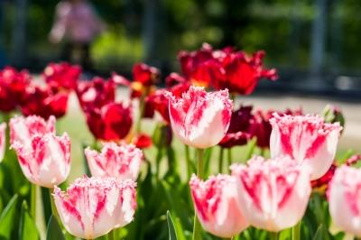 soku_35980.jpg :: 植物 花 ピンクの花 チューリップ