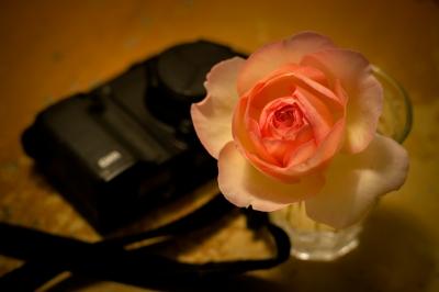soku_35983.jpg :: 薔薇 ピエールドゥロンサール 一輪挿し