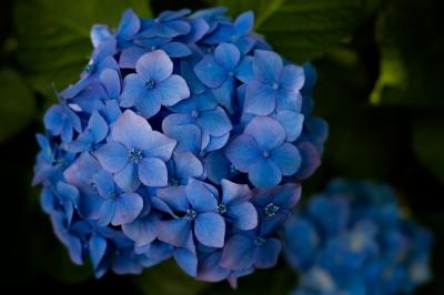 soku_35984.jpg :: 植物 花 紫陽花 アジサイ