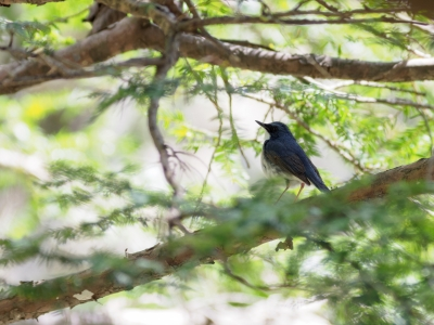 soku_35986.jpg :: 動物 鳥 野鳥 自然の鳥 コルリ