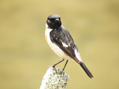 soku_35988.jpg :: 自然の鳥 野鳥 小鳥 ヒタキ